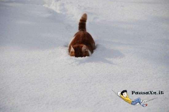 Gatto Delle Nevi Animale Gatto Delle Nevi Dove Sono